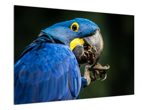 Obraz papouška (V020714V9060)