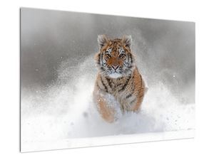 Obraz bežiaceho tigra v snehu (V020719V9060)
