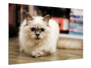 Obraz bílé kočky (V021124V9060)