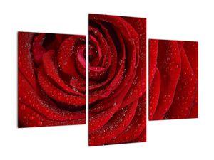 Obraz - detail růže (V020684V90603PCS)
