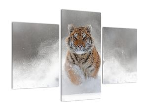 Obraz běžícího tygra ve sněhu (V020719V90603PCS)